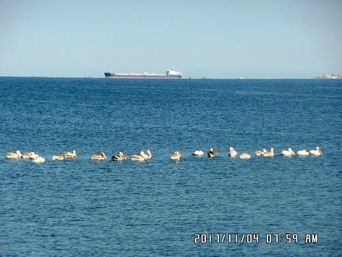 بجع في بحر بانياس