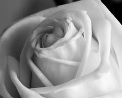 Macro White Rose 😁❤👧 (LeanneHall3 :-)) Tags: rose white rosepetal petals blackandwhite closeup closeupphotography macro macrotubes hull canon 1300d
