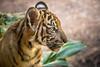 Attentive (helenehoffman) Tags: cub tiger felidae sandiegozoosafaripark bigcat mammal animal sumatrantiger carnivore sumatra pantheratigrissumatrae conservationstatusendangered cat