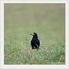 KUSA-6911 (Weinstöckle) Tags: saatkrähe rabenvogel vogel