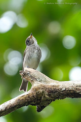 Muscicapa sibirica (57Andrew) Tags: hongkong muscicapidae flycatcher oldpeakroad muscicapa sibirica darksided