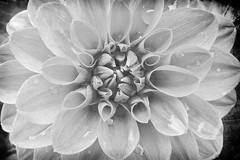 CLOSE! (Ageeth van Geest) Tags: closeup 7dwf macro monochrome blackandwhite bw flower