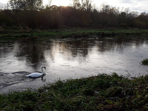lone Swan on the Ythan River
