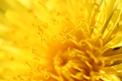 "Dandelion • <a style=""font-size:0.8em;"" href=""http://www.flickr.com/photos/152482677@N08/26663876209/"" target=""_blank"">View on Flickr</a>"