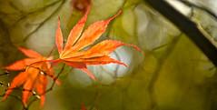 AUTUMN LEAF (chris .p) Tags: leaf autumn batsford nikon d610 capture gloucestershire october 2017 uk tree twb