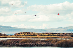 Vuelo salvaje (julien.ginefri) Tags: argentina argentine patagonia patagonie america latinamerica southamerica latin south austral flamenco flamingo bird laguna nimez phoenicopteruschilensis flamant rose rosa pink elcalafate
