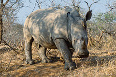White rhino with oxpecker (NettyA) Tags: 2017 africa ceratotheriumsimum krugernationalpark southafrica animal rhino rhinoceros safari travel whiterhinoceros wildlife