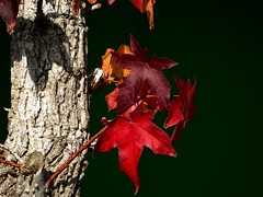 i rossi dell'autunno (fotomie2009) Tags: autumn autunno leaves fall colours foglie red liquidambar styraciflua storace americano