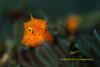 Big Eyes @_@ (kayak_no1) Tags: nikon d800e nauticamhousing 105mmvr diopter ysd1 subsee10 underwater underwaterphotography macro supermacro diving scubadiving uw lembehstrait indonesia boxfish