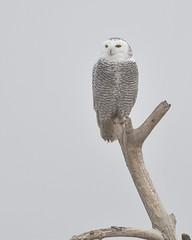 DSC_7898_edit (Hanzy2012) Tags: d500 afsnikkor500mmf4difedii toronto ontario wildlife canada snowyowl buboscandiacus harfangdesneiges