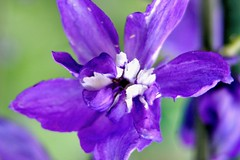 "Flower of the Day, SBK9U • <a style=""font-size:0.8em;"" href=""http://www.flickr.com/photos/95808399@N03/27084447929/"" target=""_blank"">View on Flickr</a>"