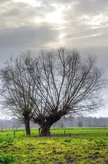 Knotwilg | Uiterwaarden Asselt  --HDR-- (Frank Berbers) Tags: asselt maasplassen asseltseplassen middenlimburg limburg hdr highdynamicrange imagerieàgrandegammedynamique photomatix uiterwaarden überschwemmungsgebiet nederland knotwilgen nikond5100
