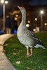 Goose (stephanrudolph) Tags: d750 nikon handheld london uk gb england europe europa 50mm 50mm14 50mm14d 50mmf14 50mmf14d animal bird night flash
