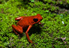 StawberryDartFull (TRAdamson Photography) Tags: costarica costa rica rainforests travel centralamerica puravida frog frogs amphibians tropicalfrogs dartfrog strawberrydartfrog poisonous toxic herping herpetology herps costaricanherps costaricanrainforests