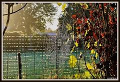 Tableau d'automne. (Les photos de LN) Tags: automne nature rosée brouillard brume feuilles couleurs jaune brun rouille barrière clôture lumière paysage toiledaraignée végétation teintes
