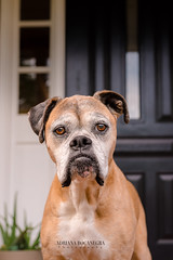 DSC_3145-1 (bocanegra.adriana) Tags: dogs boxer save date pet