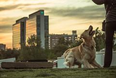 Perros y edificios (Cruz-Monsalves) Tags: chile santiago santiagodechile perro dog animal sunset atardecer urban urbano city ciudad parque park