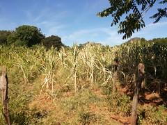 Seca gera prejuízo de mais de R$ 60 milhões em Januária, MG (portalminas) Tags: seca gera prejuízo de mais r 60 milhões em januária mg