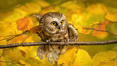Northern Saw Whet Owl .... (Kevin Povenz Thanks for all the views and comments) Tags: 2017 october kevinpovenz westmichigan kentcounty blandfordnaturecenter bird birdsofprey owl fall autumn nature outdoors outside yellow eyes canon7dmarkii sigma150500 branch feathers