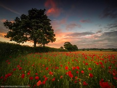 The Corner Of Some Foreign Field (Richard Walker Photography) Tags: poppies landscape sunset nature poppy tree landscapephotography clouds oxfordshire remembrance summer lonetree sky