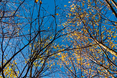 Silver Birch trees (Julia Livesey) Tags: trees silverbirch uptonheath autumn autumncolour poole england unitedkingdom gb