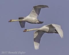 Mute Swans in-flight IMG_6049 (ronzigler) Tags: mute swans inflight wildlife avian nature bird birdwatcher canon 60d sigma 150600mm