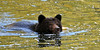 Swimming Bear (Spectacle Photography) Tags: bear grizzly ursusarctos grizzlybear swim swimming salmonrun salmon reflection bellacoola valley britishcolumbia bc ilovebc spectaclephotography canada northamerica wildlife wildlifewatching