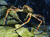 The Spider and the Woodlouse (Steve Taylor (Photography)) Tags: spidercrab asia singapore shadow aquarium sea isopod