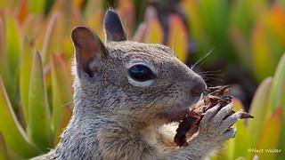 Ground Squirrel, Goleta, CA CQ4A9530