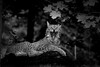 Sleepy Cat (Armin Fuchs) Tags: arminfuchs cat lynx sleepy luchs