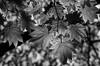 An Ultimate Glow (AnyMotion) Tags: leaf leaves blatt blätter tree baum bokeh light licht nature natur cemetery 2017 anymotion maincemetery hauptfriedhof frankfurt hessen germany 7d2 canoneos7dmarkii bw blackandwhite sw autumn fall herbst automne otoño ngc npc