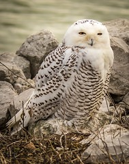 Sitting pretty . . . (Dr. Farnsworth) Tags: bird large snowyowl snowy owl pretty fear photographers muskegon mi michigan fall november2017