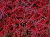 Cotoneaster Shrub Fall Autumn 2017 (mrd1xjr) Tags: cotoneaster shrub fall autumn 2017 hum 👍 mary