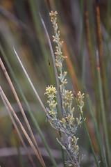 Artemisia gallica (esta_ahi) Tags: tarragona torredembarra tarragonès elsmuntanyans estanydelsaler flora marisma spain españa испания artemisia gallica artemisiagallica artemisiacaerulescenssubspgallica caerulescens compositae asteraceae