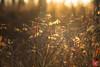 Tangled mess (Kasia Sokulska (KasiaBasic)) Tags: canada alberta elkisland nationalpark nature flora woods boreal forest macro fall wild rose fruit foliage light
