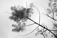untitled . (helmet13) Tags: leicaxvario bw flora tree branches cotinuscoggygria smoketree winter aoi peaceawards world100f