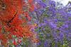 Illawarra Flame Tree and Jacaranda (womboyne7) Tags: illawarraflametree jacarandatree red purple leaves green queensland summer