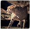 Amber Eyes (The Spirit of the World) Tags: cheetah predator amber ambereyes sleek spots stealth cat bigcat animal wildlife africa southafrica madikwe safari gamedrive gamereserve