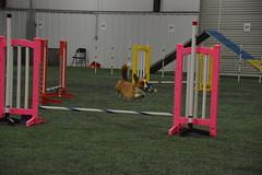 DSC_6634 (jaimekay16) Tags: dog agility k9x k9 xpress leander texas