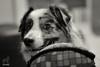 Haahhh!?!  You want to, right? (Jasper's Human) Tags: aussie australianshepherd dog football play