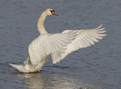 Mute Swan wing flap (Mawrter) Tags: muteswan swan elegance wing wings flap wingflap motion action feather feathers nature bird avian wildlife forsythenwr canon wild blue white grace nj specanimal