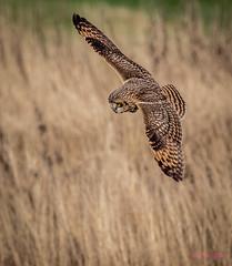 Short-eared Owl (Eric_Z) Tags: shortearedowl owls delta britishcolumbia canada canoneos7dmkii ef100400mmf4556lisiiusm birdinflight hunting wingspan fannedtail