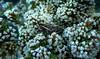 GRASSHOPPER SNUGGLED AMONG THE  BLOSSOMS (Lani Elliott) Tags: nature naturephotography lanielliott insect grasshopper southernpyrgomorph monistriaconcinna flowers blossoms ozothamnus ozothamnushookerii tasmanianflora tasmanianfauna tasmanianwildlife light bright colour colourful color centralhighlands