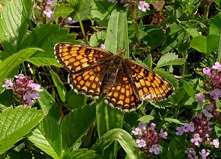 Wachtelweizen-Scheckenfalter (Melitaea athalia) , NGIDn704337141
