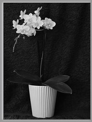 3119 v2 Orchid (Andy - Busy Bob) Tags: bw bbb fff flowers ooo orchid plants pot ppp white www