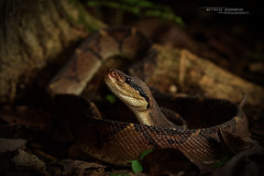 Lachesis stenophrys (Matthieu Berroneau) Tags: matabuey central american bushmaster centralamericanbushmaster lachesis stenophrys lachesisstenophrys reptile reptilian reptilia serpente snake serpent viper vipère nature herpéto herpeto trip 2017 costa rica field herp herping serpentes snakes wildlife пепелянка schlange animal animaux sony alpha a7ii ff 24x36 full frame sonya7ii sonyalphaa7ii sonya7mk2 sonyalpha7mark2 sonyalpha7ii 7ii 7mk2 sonyilce7m2 vibora venin venimeux venimous venon venomous poisonous serpents costarica 90 28 fe f28 g oss fe90f28macrogoss sonyfesonyfe2890macrogoss objectifsony90mmf28macrofe sel90m28g lachesisstenophryscope1875