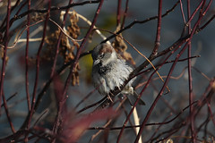 House Sparrow....6O3A4649A (dklaughman) Tags: sparrow bird bombayhookwildliferefuge delaware