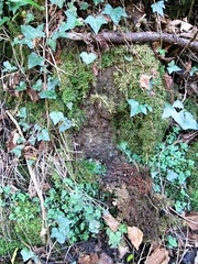 Denhambridge C stone North Side under vegetation (Bridgemarker Tim) Tags: denhambridge westdevon bucklandmonachorum berealston tavyriver oldbridges devonbridges bridgemarkers
