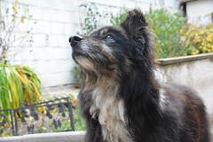 Quinn wartet/Quinn waits (VreSko) Tags: dog dogs hund perro perros hunde quinn sarafina mogli australian shepherd