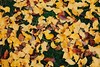 GINKGO (nextgentomato) Tags: japan 栃木 igashira moka park 井頭公園 真岡 紅葉 yellow leaf 井頭 公園 黄色 こけ 苔 moss green 緑